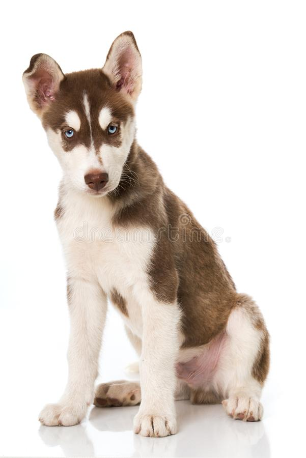 逗人喜爱的多壳的小狗坐白色背景 免版税库存图片