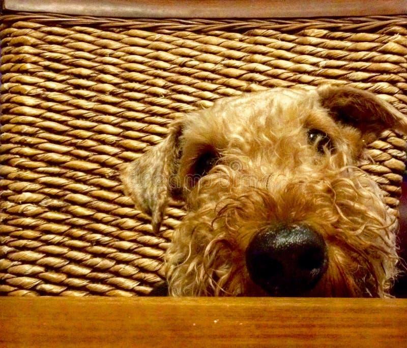 逗人喜爱的大爱犬乞求为食物在桌上 库存图片