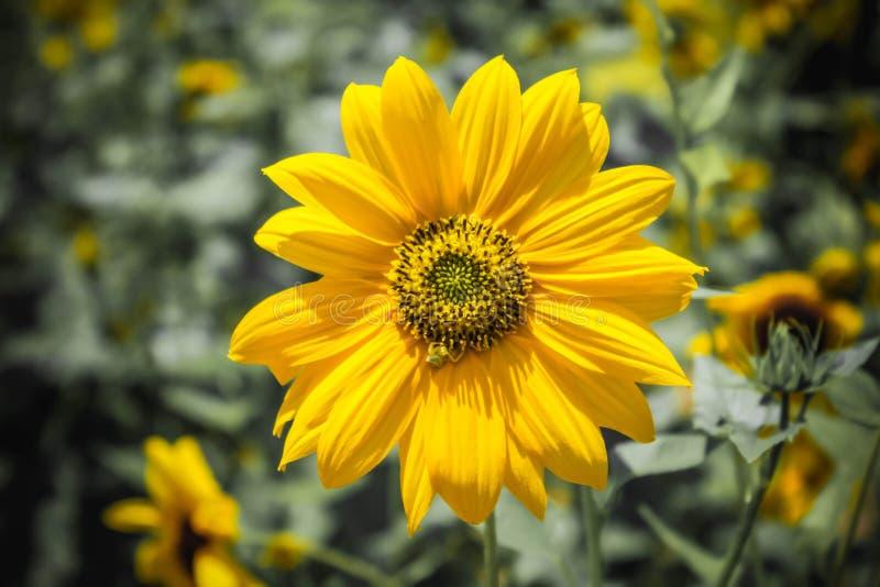 逗人喜爱的太阳开花成为不饱和的背景 库存照片