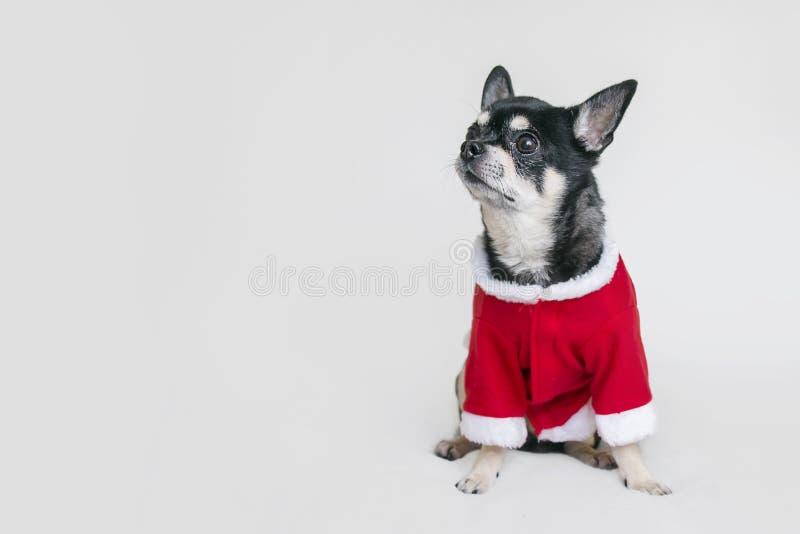 逗人喜爱的奇瓦瓦狗在白色背景的圣诞节服装穿戴了 免版税库存图片
