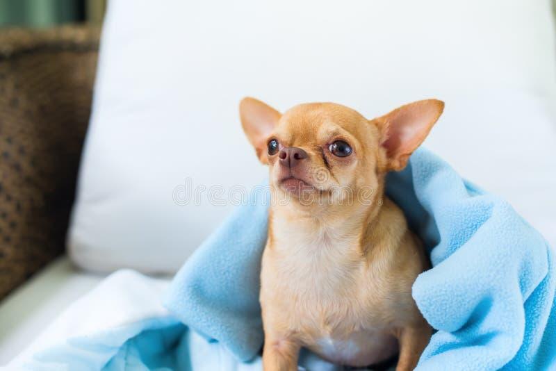逗人喜爱的奇瓦瓦狗小狗坐的沙发品种微型狗 免版税库存图片