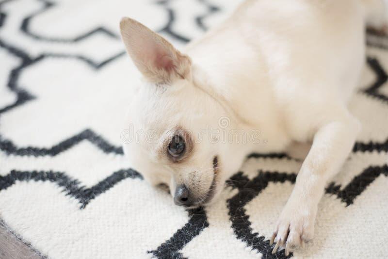 逗人喜爱的奇瓦瓦狗狗坐在地板上的斯堪的纳维亚地毯地毯 户内,甜家 库存图片