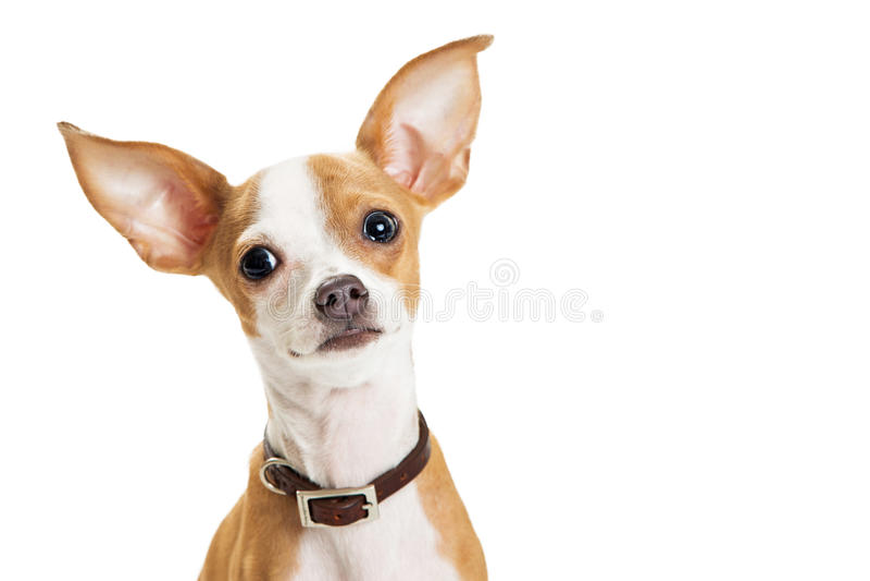 逗人喜爱的奇瓦瓦狗狗特写镜头爱恋的表示 免版税库存图片