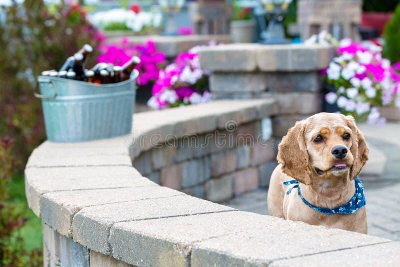 逗人喜爱的好奇矮小的金黄猎犬小狗 免版税库存图片
