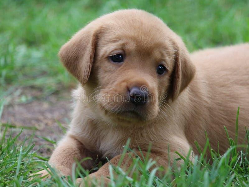 逗人喜爱的实验室小狗 库存图片