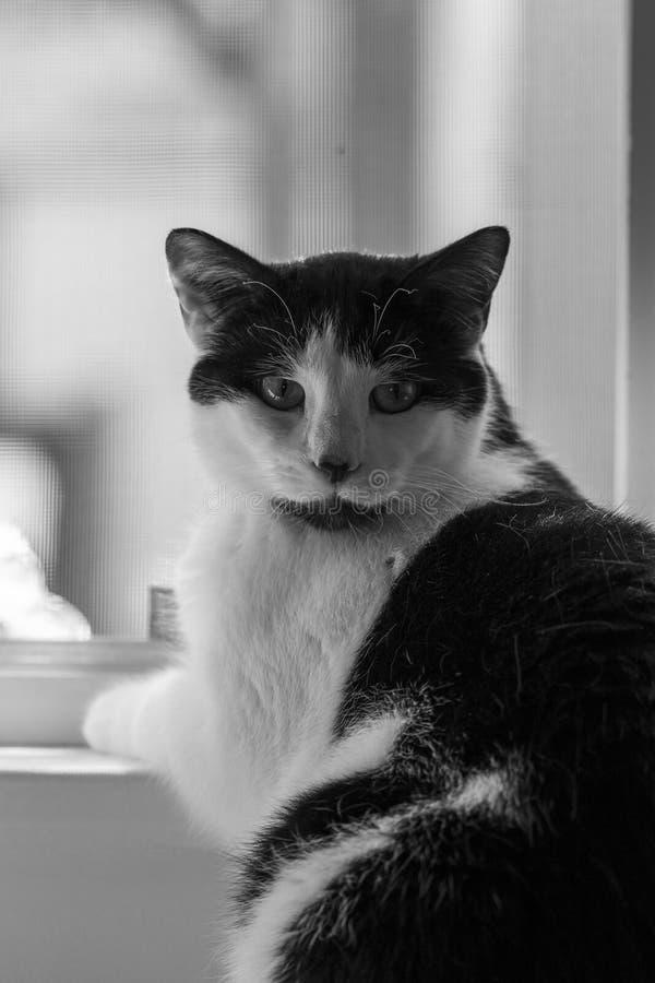 逗人喜爱的家猫面孔关闭 免版税库存图片