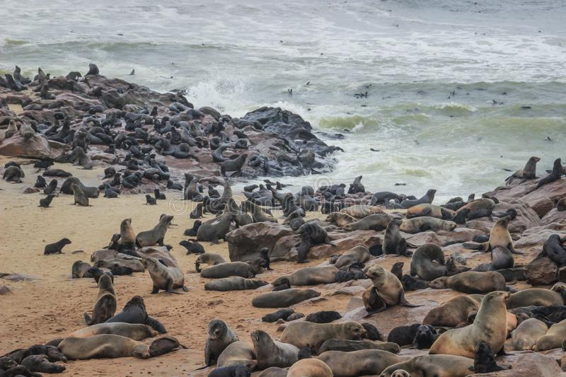 逗人喜爱的封印在大西洋的岸嬉戏在纳米比亚 库存图片