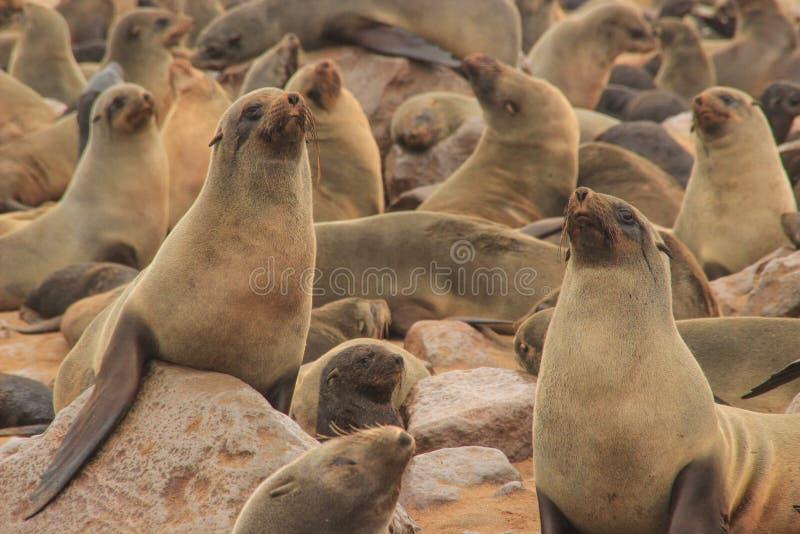 逗人喜爱的封印在大西洋的岸嬉戏在纳米比亚 免版税库存照片