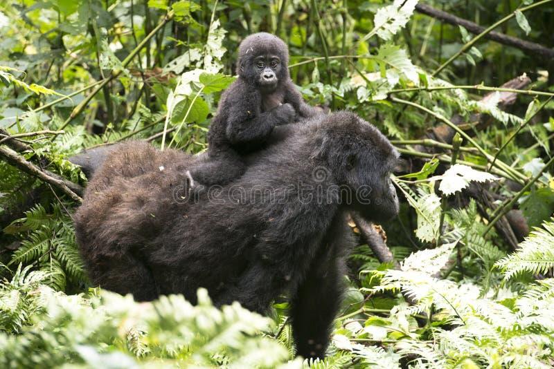 逗人喜爱的小大猩猩坐妈咪的返回 免版税库存图片