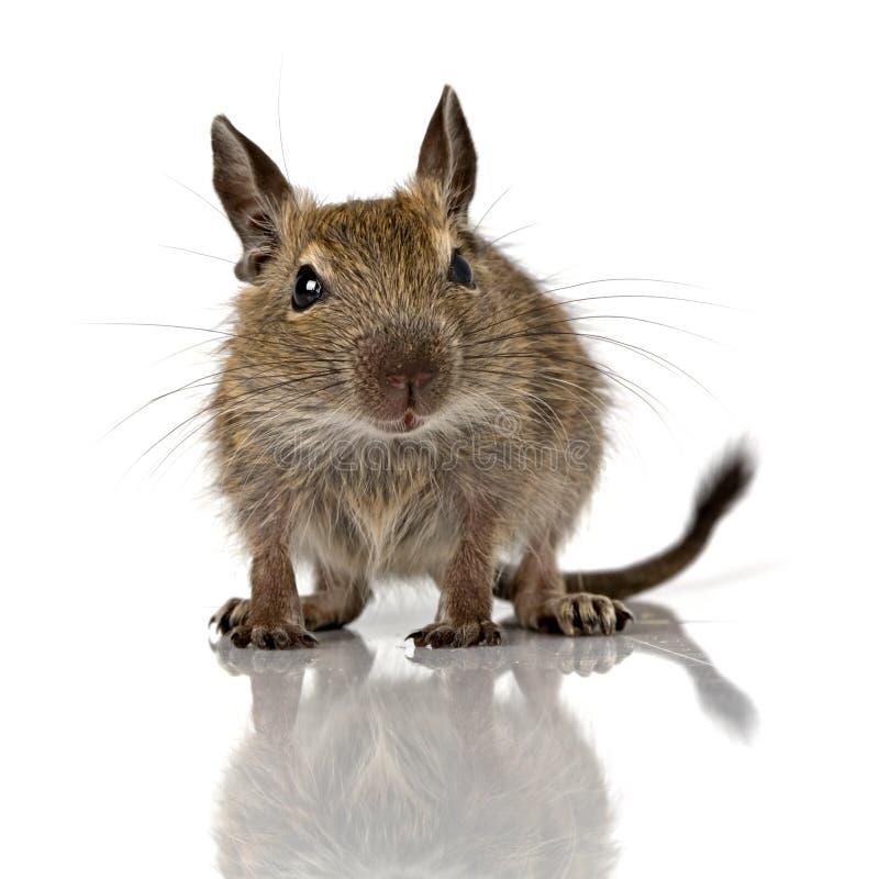 逗人喜爱的小小啮齿目动物degu宠物 库存照片