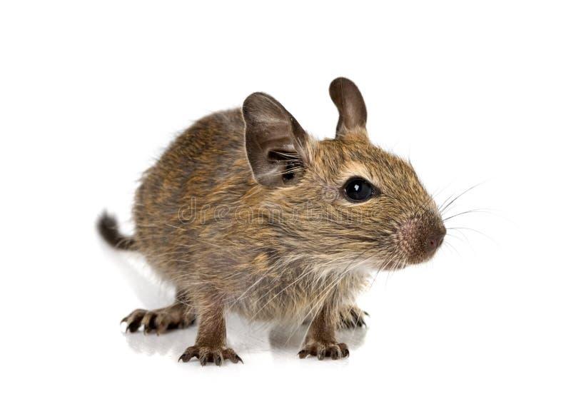 逗人喜爱的小小啮齿目动物degu宠物 免版税库存图片