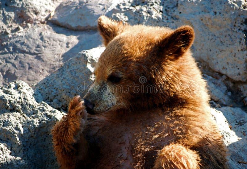 逗人喜爱的小熊他舔的爪子 免版税库存照片