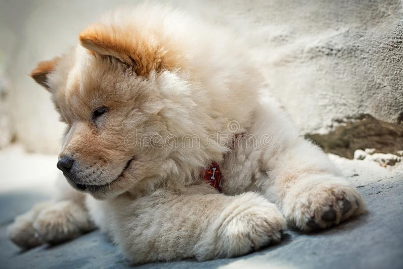 逗人喜爱的小狗中国咸菜 免版税库存图片