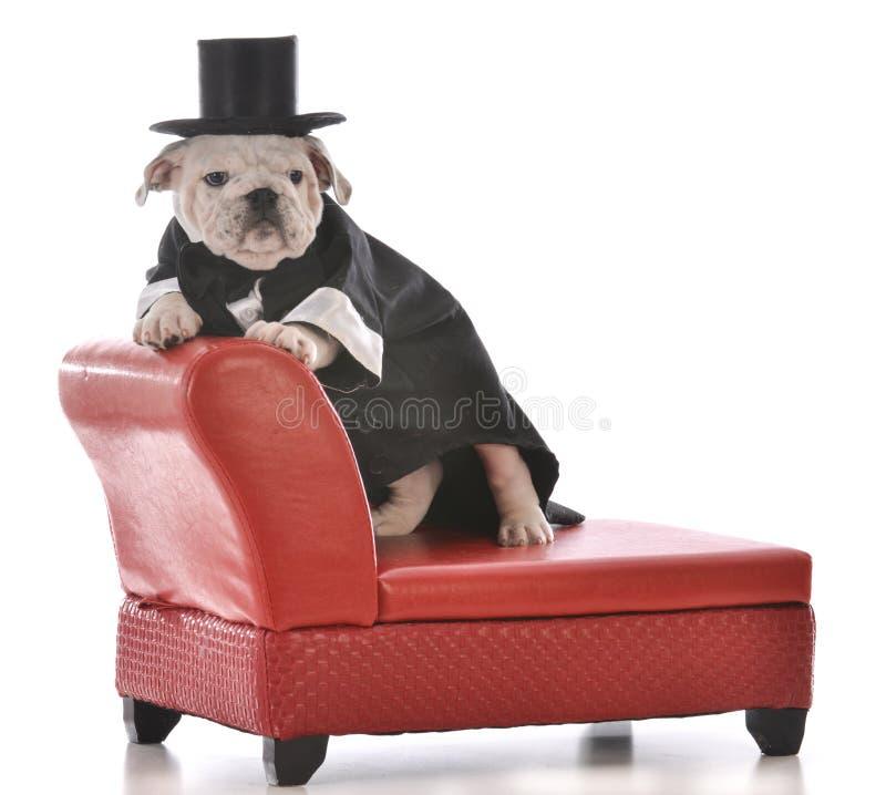 逗人喜爱的小狗佩带的无尾礼服 库存照片