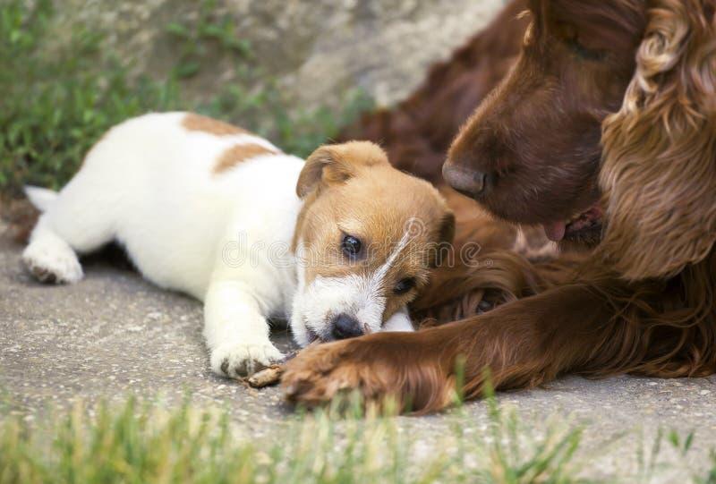 逗人喜爱的小狗和成人狗友谊 免版税库存图片