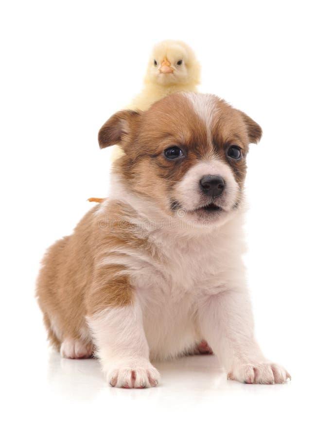逗人喜爱的小狗和黄色鸡 免版税库存照片