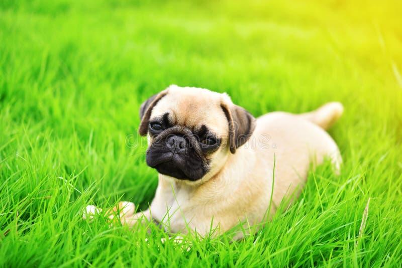 逗人喜爱的小狗哈巴狗在绿色草坪 免版税库存照片