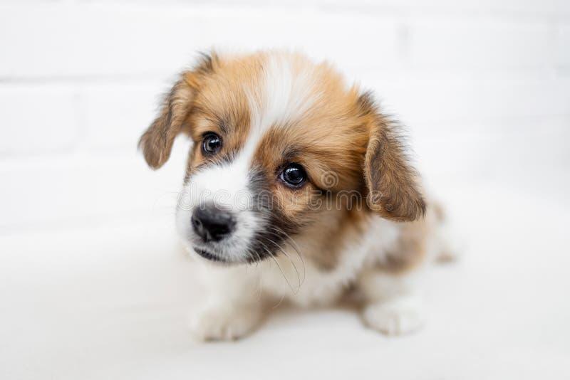 逗人喜爱的小狗威尔士小狗彭布罗克角看照相机并且开始 免版税图库摄影
