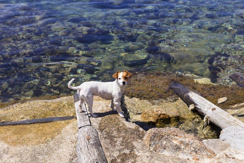 逗人喜爱的小狗游泳和有乐趣由岸在伊维萨岛美丽的水中 夏天和假日概念 图库摄影