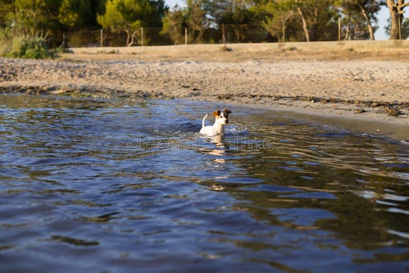 逗人喜爱的小狗游泳和有乐趣由岸在伊维萨岛美丽的水中 夏天和假日概念 库存图片