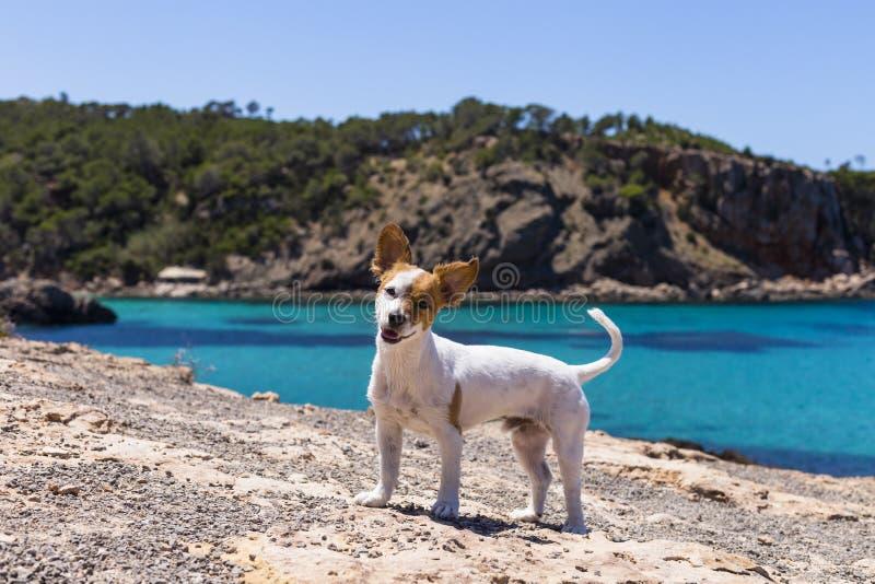 逗人喜爱的小狗获得乐趣在伊维萨岛有美好的水背景 夏天和假日概念 滑稽的耳朵 免版税库存图片