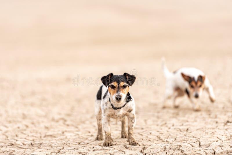 逗人喜爱的小狗跑在含沙地面和获得乐趣 两条杰克罗素狗 免版税库存图片