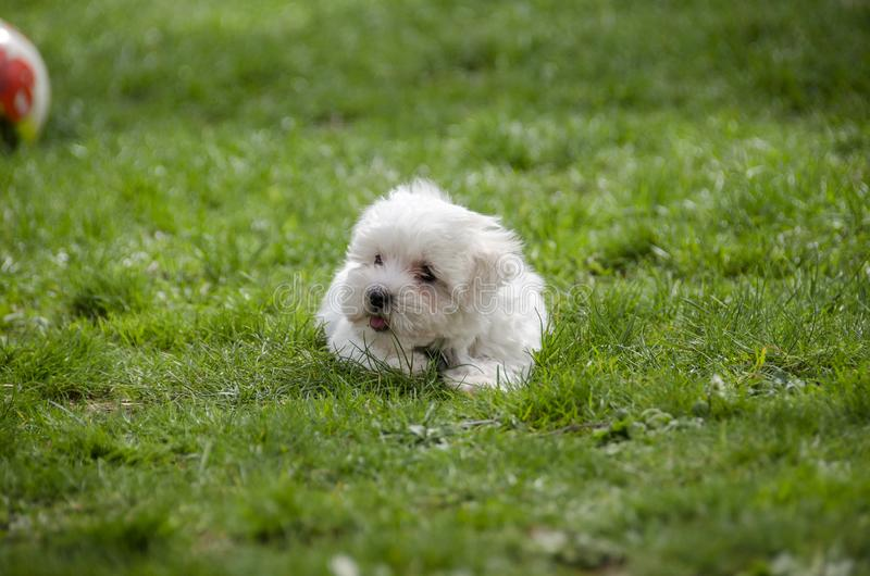 逗人喜爱的小狗-马耳他狗品种 免版税库存照片