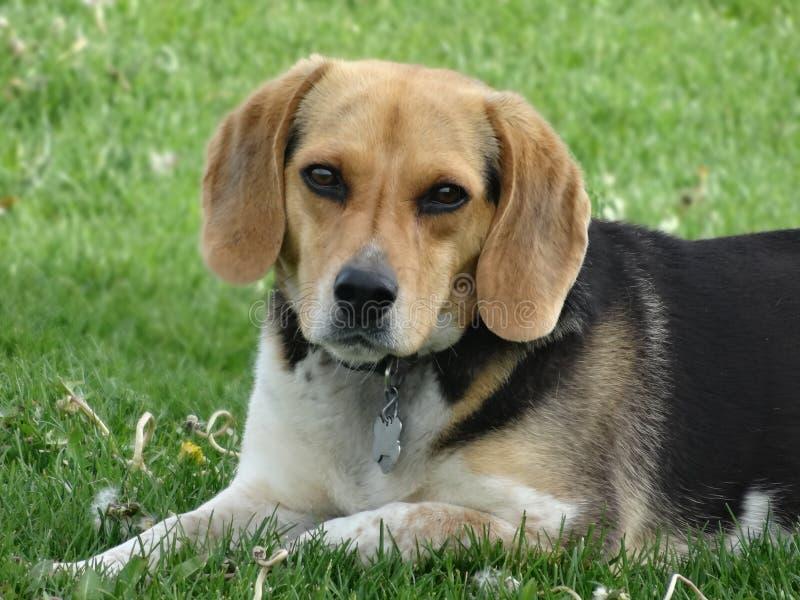 逗人喜爱的小猎犬图片 库存图片