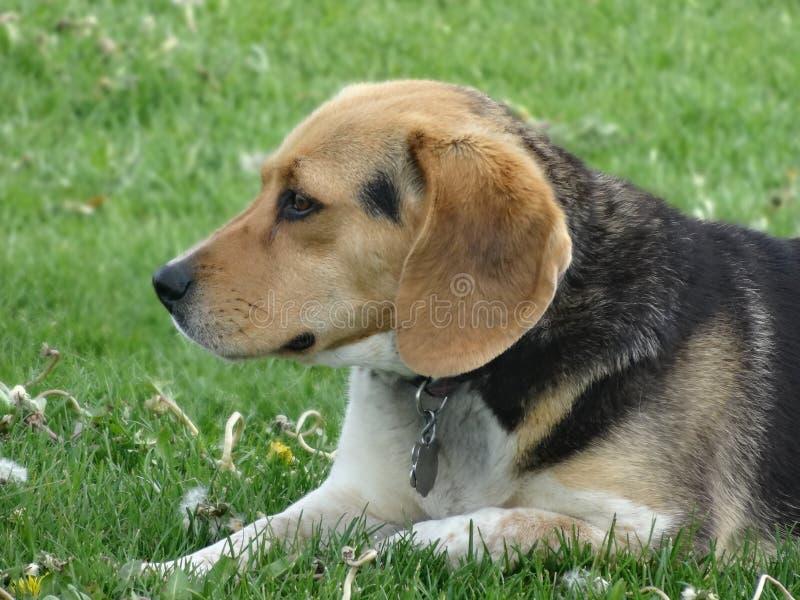 逗人喜爱的小猎犬图片 图库摄影