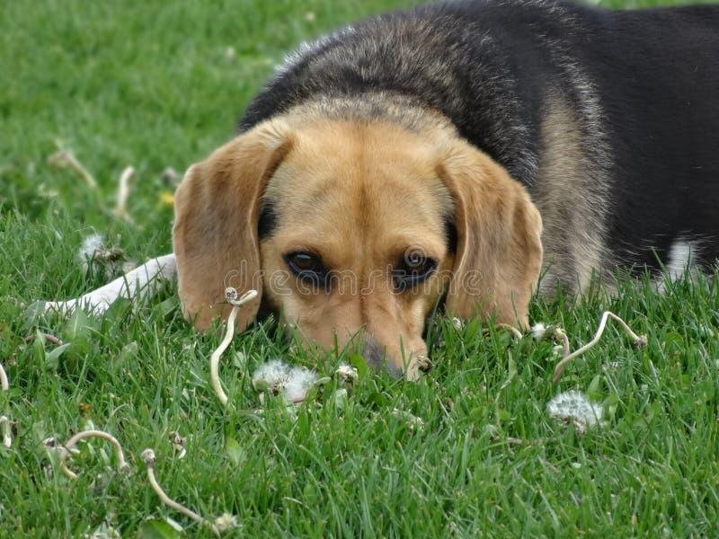 逗人喜爱的小猎犬图片 免版税库存照片