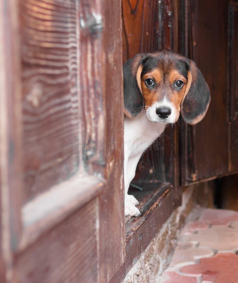 逗人喜爱的小猎犬小狗坐门阶 免版税图库摄影