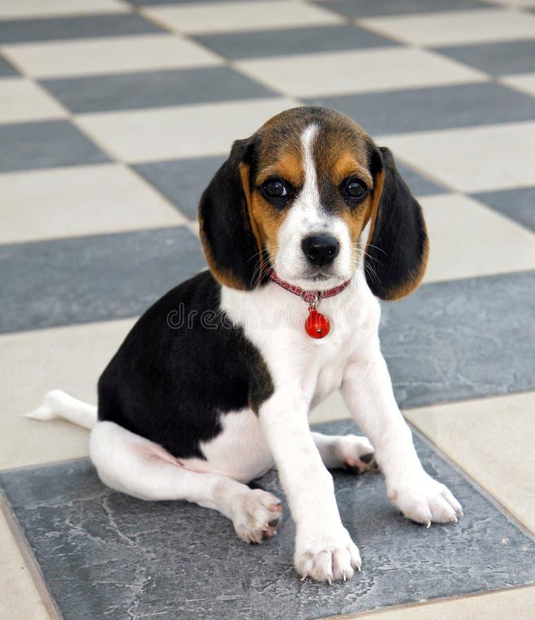 逗人喜爱的小猎犬小狗 免版税库存图片