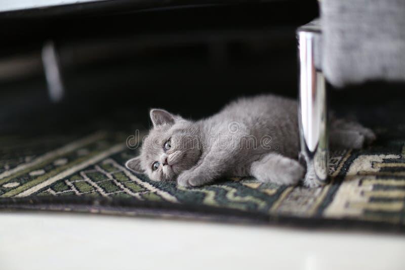 逗人喜爱的小猫在地毯的英国Shorthair 库存图片