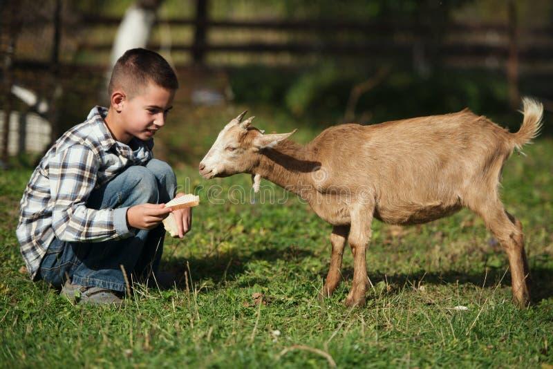 逗人喜爱的小男孩哺养的山羊 库存照片