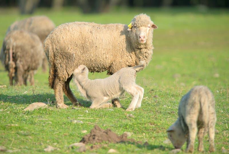逗人喜爱的小的从她的母亲的羊羔饮用奶 库存图片