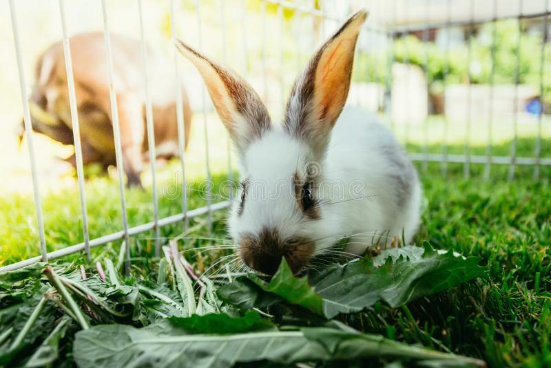 逗人喜爱的小的兔宝宝吃沙拉,室外化合物,绿草 免版税库存照片