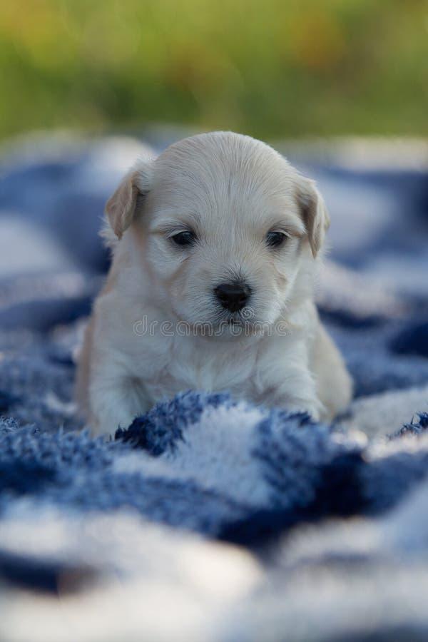 逗人喜爱的小的小狗坐一条蓝色和白色毯子 图库摄影