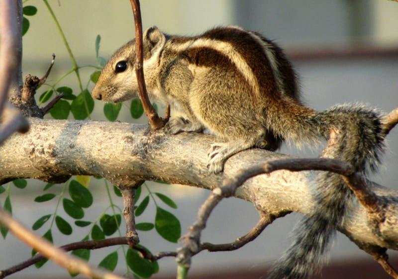 逗人喜爱的小的灰鼠 免版税库存照片