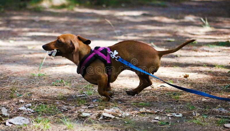 逗人喜爱的小的达克斯猎犬熏肉香肠狗美丽的小狗 免版税库存图片