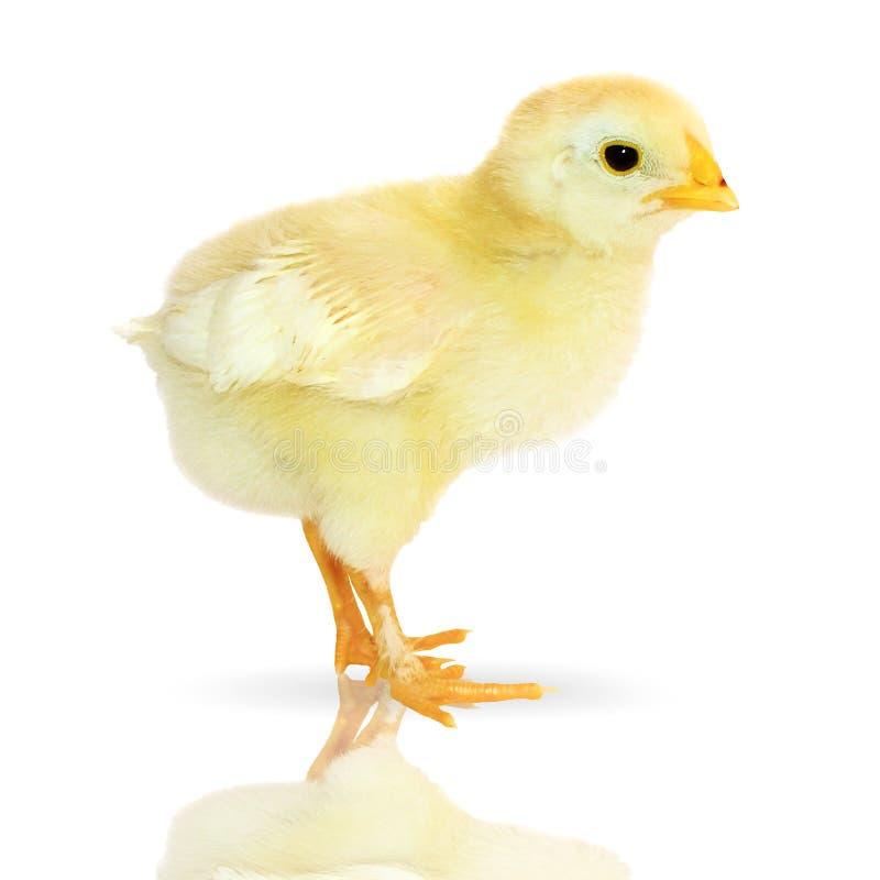 逗人喜爱的小的鸡 免版税库存图片