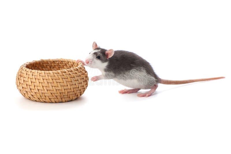 逗人喜爱的小的鼠移动在白色背景的一个柳条筐 免版税库存照片
