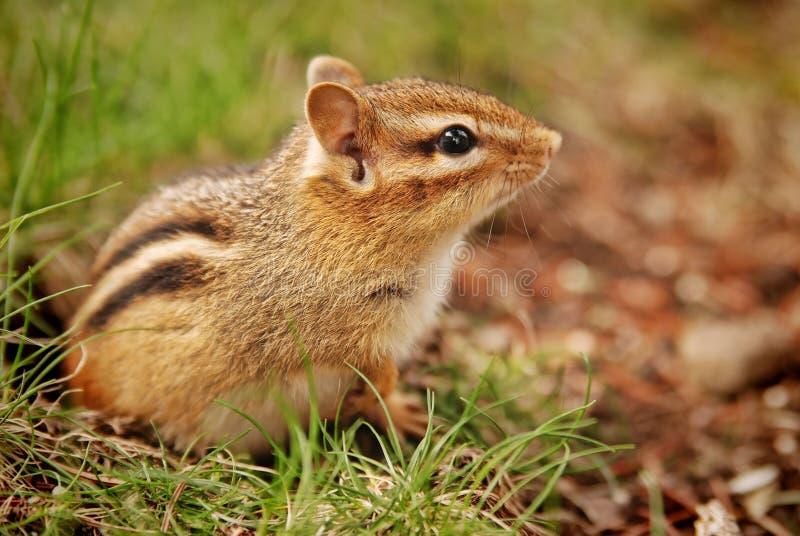 逗人喜爱的小的婴孩花栗鼠 免版税库存图片