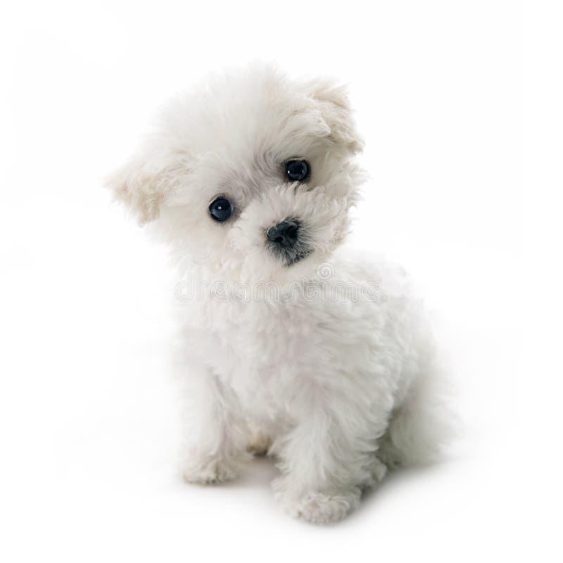 逗人喜爱的小Bichon Frise小狗 免版税图库摄影