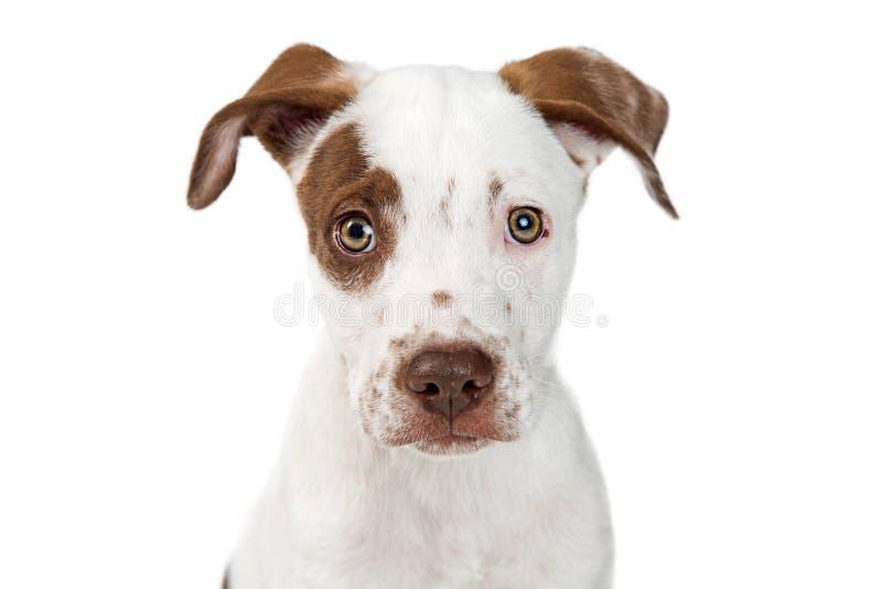 逗人喜爱的尖小狗的面孔特写镜头  免版税库存图片