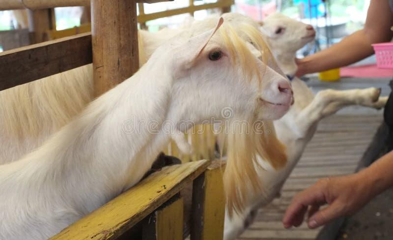 逗人喜爱的山羊孩子在农场,概念农场,动物,旅行泰国 库存照片