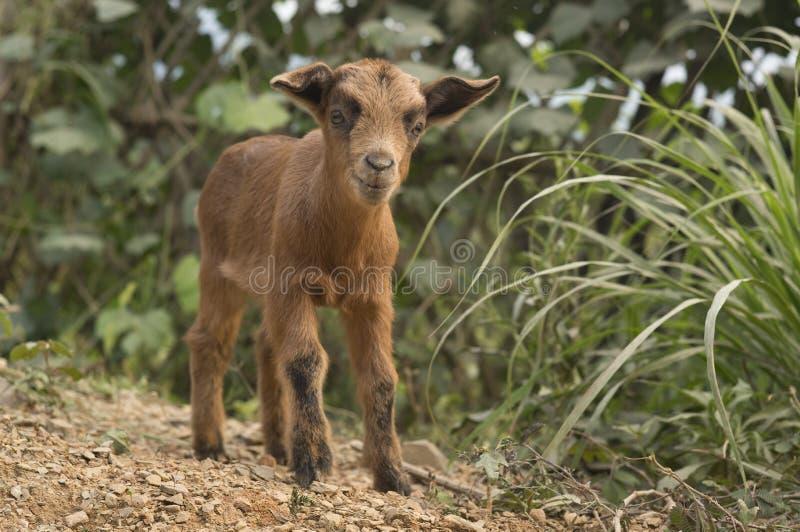 逗人喜爱的山羊孩子 图库摄影