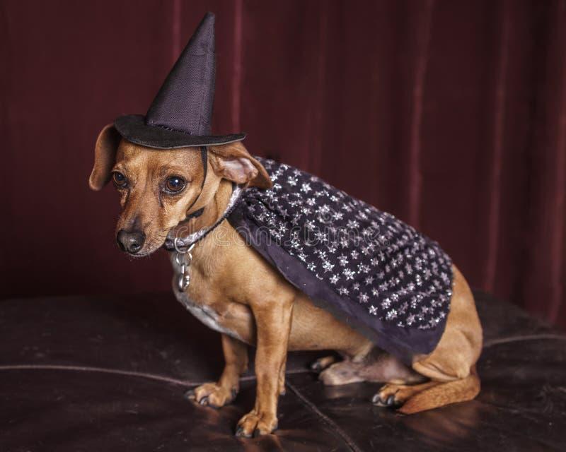逗人喜爱的巫婆狗 库存图片
