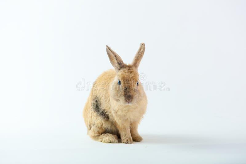逗人喜爱的布朗兔子 免版税库存照片