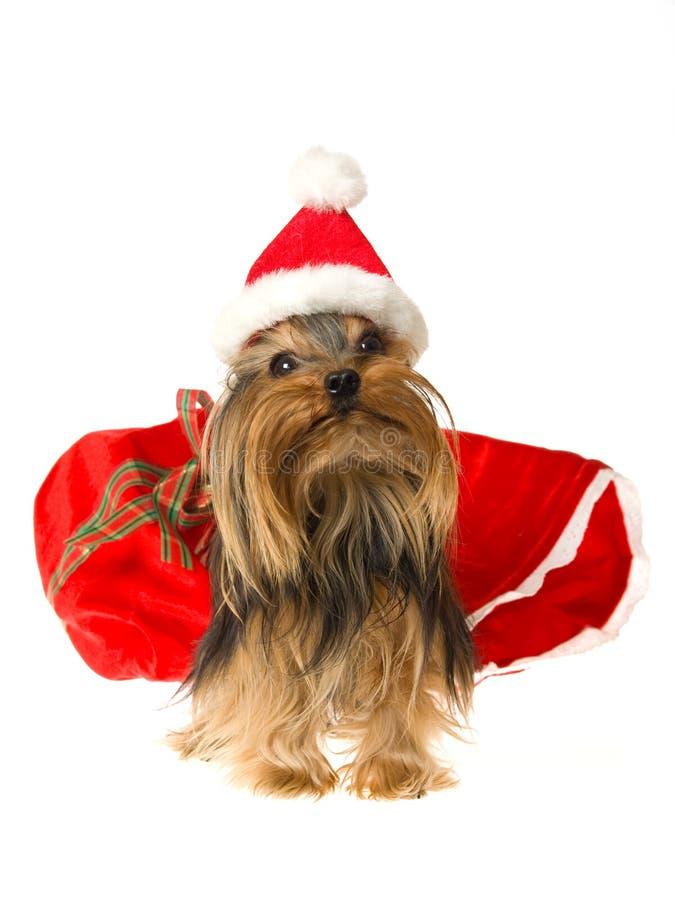 逗人喜爱的帽子圣诞老人佩带的yorkie 免版税图库摄影