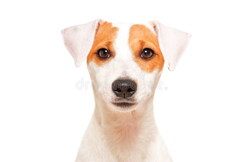 逗人喜爱的年轻狗品种教区牧师罗素狗画象  免版税库存图片